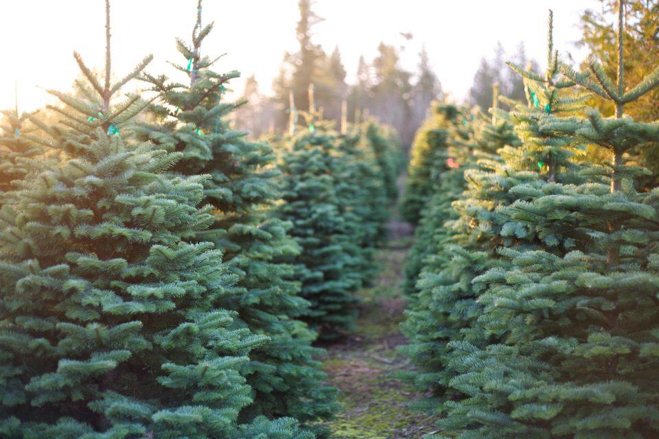Murphy's Christmas Tree Farm