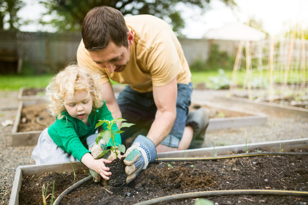 Father and daughter planting in raised bed